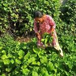 Sara picks saag (spinach)